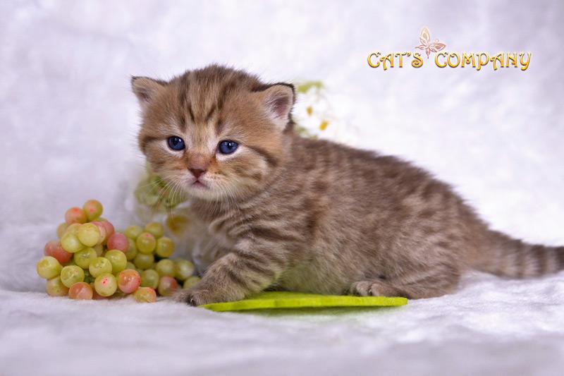 Сильвия Честер Cat's Company BRI b23