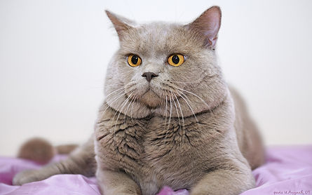 Британский короткошерстный кот Gr.E.Ch. Оскар Рапсодия Cat's Company BRI c. Окрас лиловый