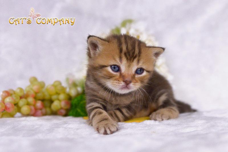 Саффи Честер Cat's Company BRI b