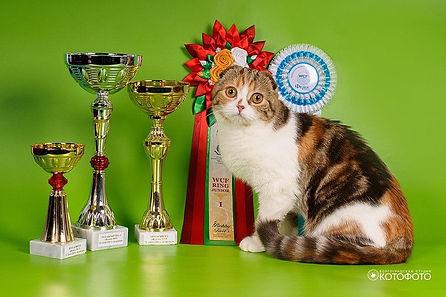 Кошка породы скоттиш фолд Barbarra Farro Bravissimo Cats SFS h22 03. Окрас шоколадный мраморный черепаховый биколорный