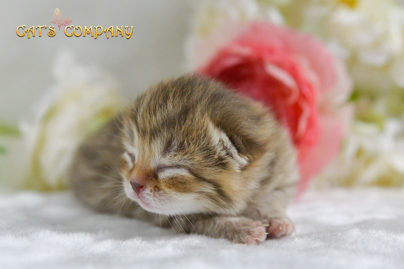 Леопольдина Шекспир Cat's Company
