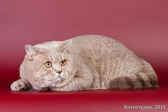 Британский лиловый пятнистый кот BRI c24