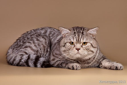 Кот породы скоттиш страйт Gr.Int.Ch. Аметист Сказка Cat's Company SFS71 bs24. Окрас шоколадный серебристый пятнистый