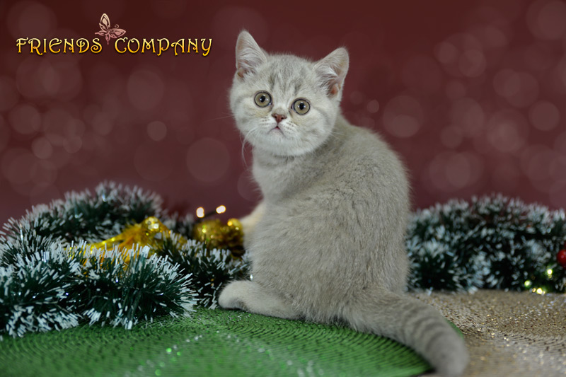 Челси Шекспир Cat's Company