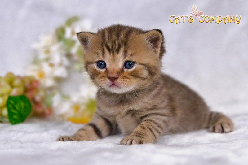 Синтия Честер Cat's Company BRI b23