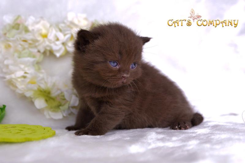 Серсея Честер Cat's Company BRI b