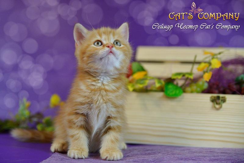 Сеймур Честер Cat's Company BRI d22