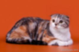 Кошка породы скоттиш фолд Италия SFS fs22 03. Окрас черный серебристый мраморный биколорный