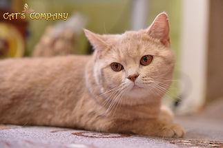 Британская кошка окраса фавновая черепаховая