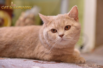 Британская шоколадная мраморная черепаховая кошка BRI h22
