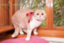 Кошка породы скоттиш фолд Deora Zair Vilona SFS e24 03. Окрас кремовый пятнистый биколорный