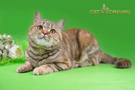 Британская кошка Cassiopeia DeluxeMur BRI h22. Окрас шоколадный мраморный черепаховый