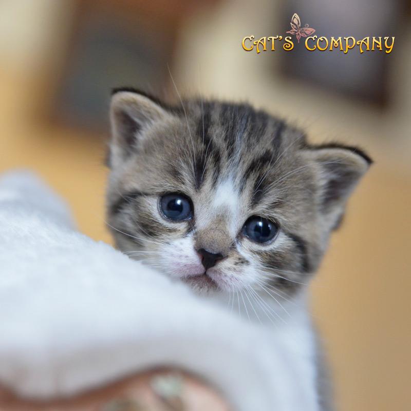 Ковердейл Шекспир Cat's Company