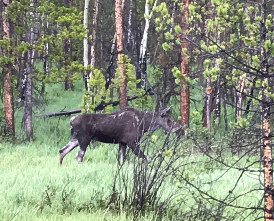 Rocky Mountain National Park -- We saw moose!