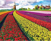 Netherlands 2022  Tulips and Windmill Ph