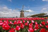 canva-blooming-tulip-field-near-windmill