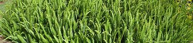 Kupukupu fern - Nephrolepsis cordifolia