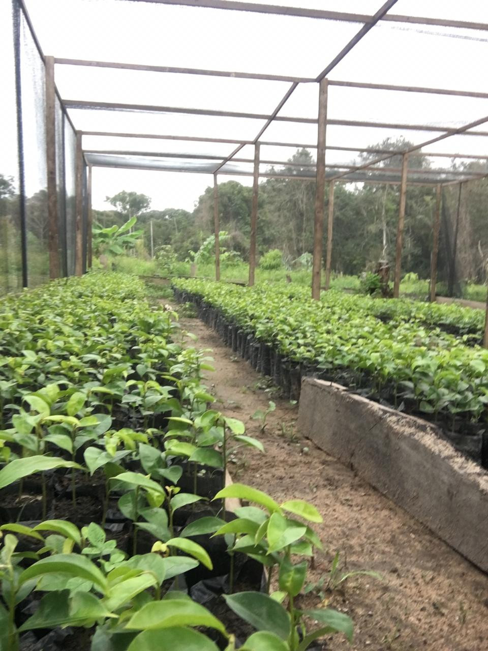 Production of seedlings in Manaus - its-my.money