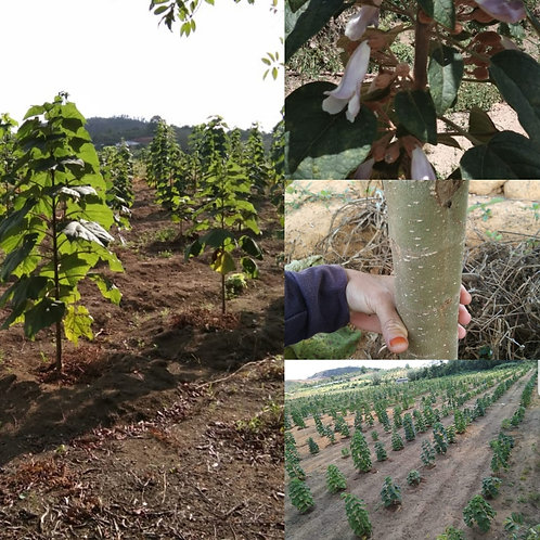 Paulownia-Trees (1 to 100,000 pieces) in Indonesia and Brazil