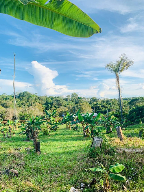 Plantation 5.5 Hectares - Bananas/Graviola/Moringa
