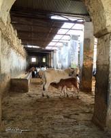 Shreenathji Gaushala at Nathdwara