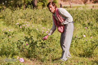 11. Gulab being collected from the field
