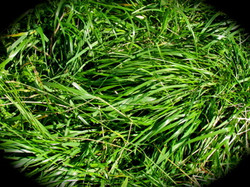 Delicious Grasses for our Goats