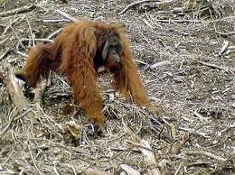 Orangutan Habitat Deforestation