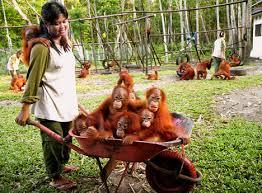 Orangutan Rescue Centers cont.