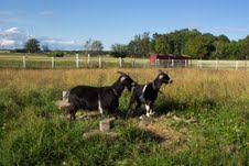 West African Dairy Goats