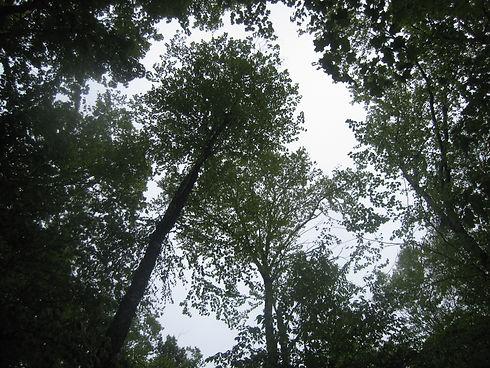 mast tree release canopy.JPG