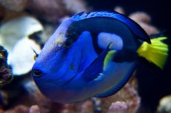 Blue Tang aka Dory