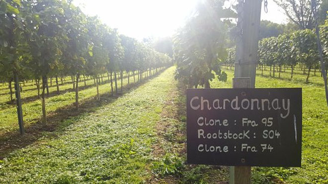 chardonnay-grapes-are.jpg