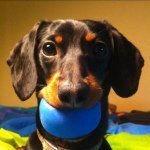 crusoe_dachshund.jpg