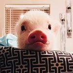 penelope_the_mini_pig_.jpg