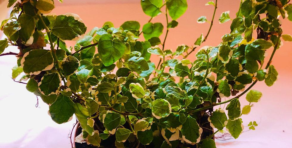 Creeping Fig / Ficus Pumila Heartshape