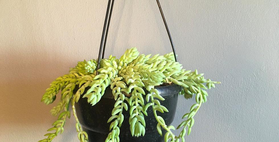Donkey's Tail Hanging Basket