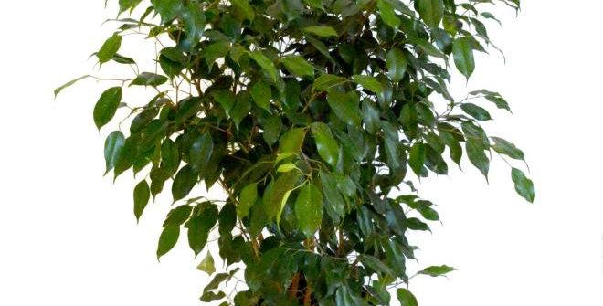 Ficus Benjamina Bush