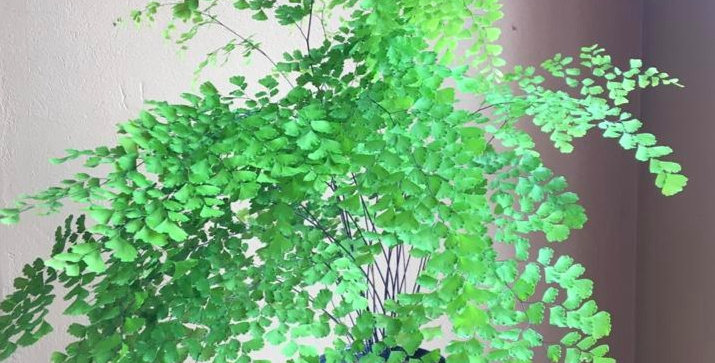 Maidenhair Fern Large