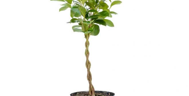 Ficus Moclame Braided/Platted