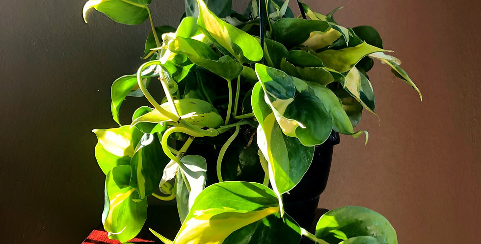Sweetheart Plant / Philodendron Scandens Brasil in HangingBasket