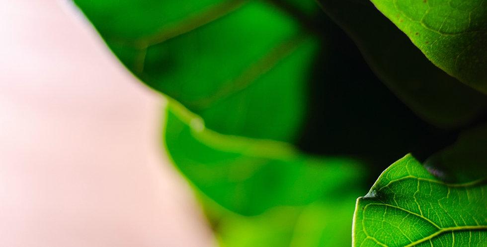 Fiddle Leaf Fig / Ficus Lyrata