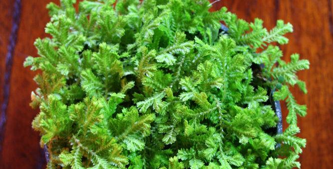 Selaginella/Spike Moss