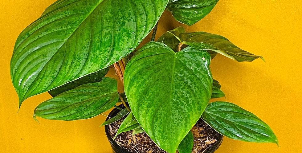 Philodendron Nangaritense