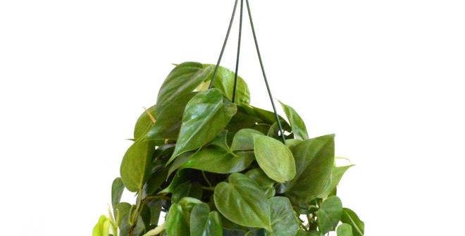 Heartleaf Philodendron Scandens in a Hanging Basket