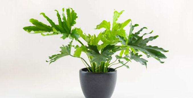 Philodendron Hope / Philodendron Selloum