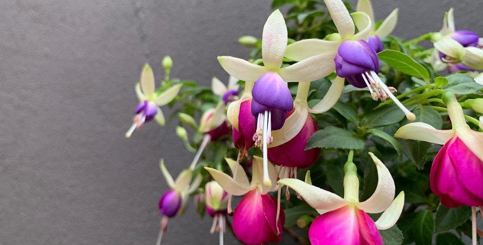 Fuchsia (White Flower)