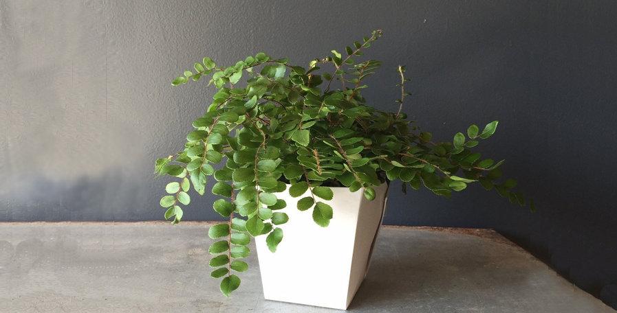 Button Fern / Pellaea Rotundifolia