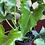 Thumbnail: Philodendron Selloum