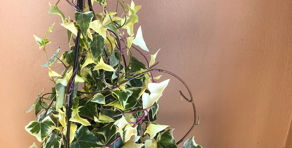 Variegated Senecio Ivy in Hanging Basket